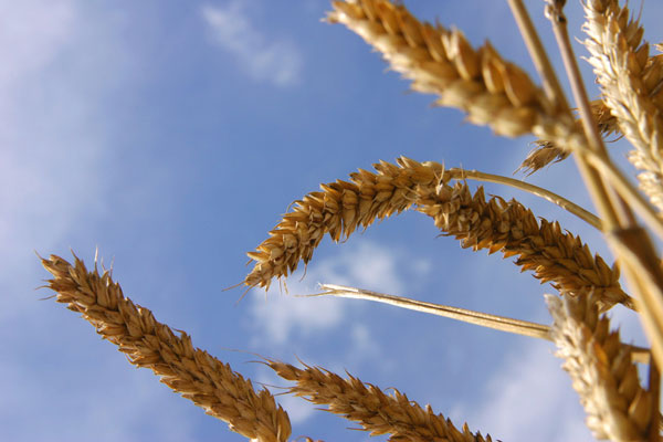 Wheat plants